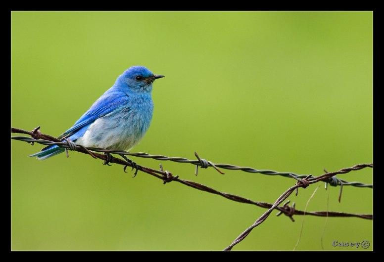 barbed bluebird
