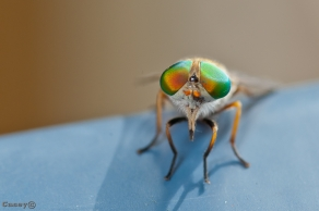 flies eye