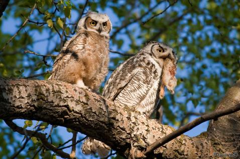 great horned owlet lunch