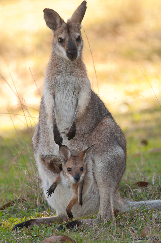 Baby Wallaby In Pouch