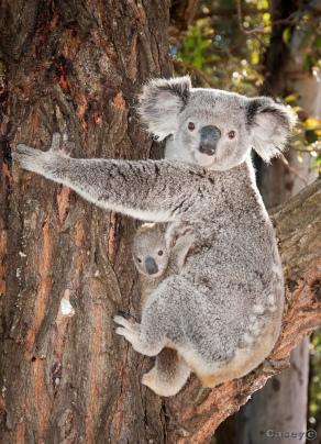 spring baby, hanging on koala