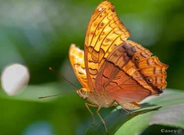 Backlit butterfly wing