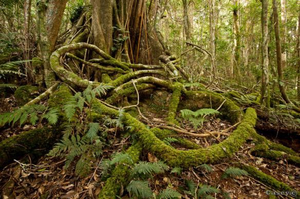 Oreily's rain forest's mossy tangled roots