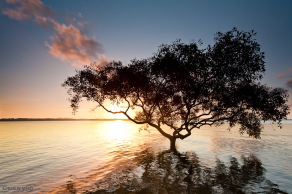lone mangrove in the water sunset