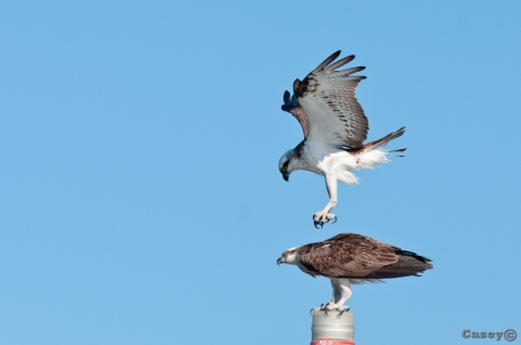 Ospreys claws into another osprey