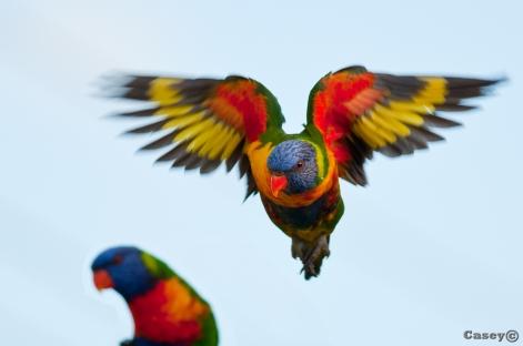 rainbow lorekeet landing