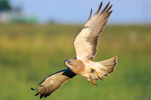 swainson hawk, wildlife, bird of prey