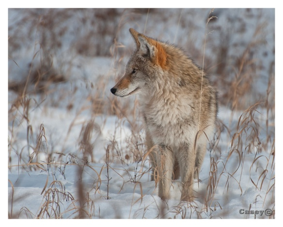 Coyote in natures colours