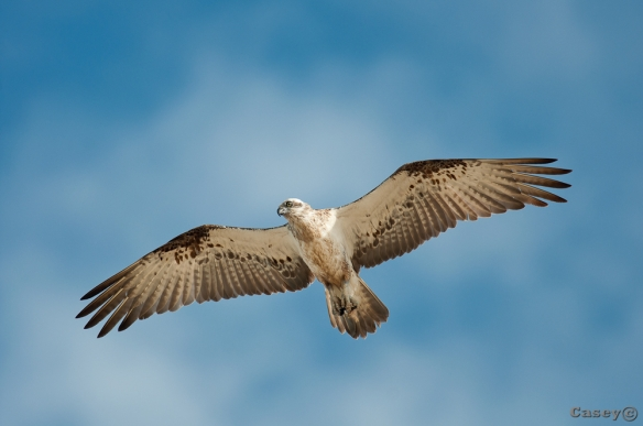gliding osprey, bird of prey