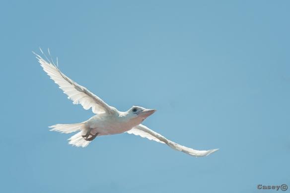 inflight kookaburra albino