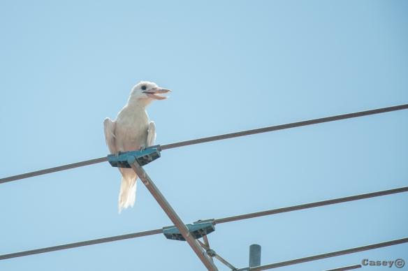 white, albino, kookaburra