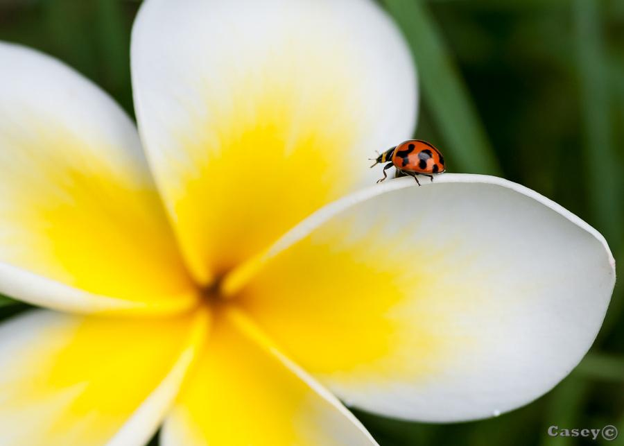 flower, yellow, ladybug