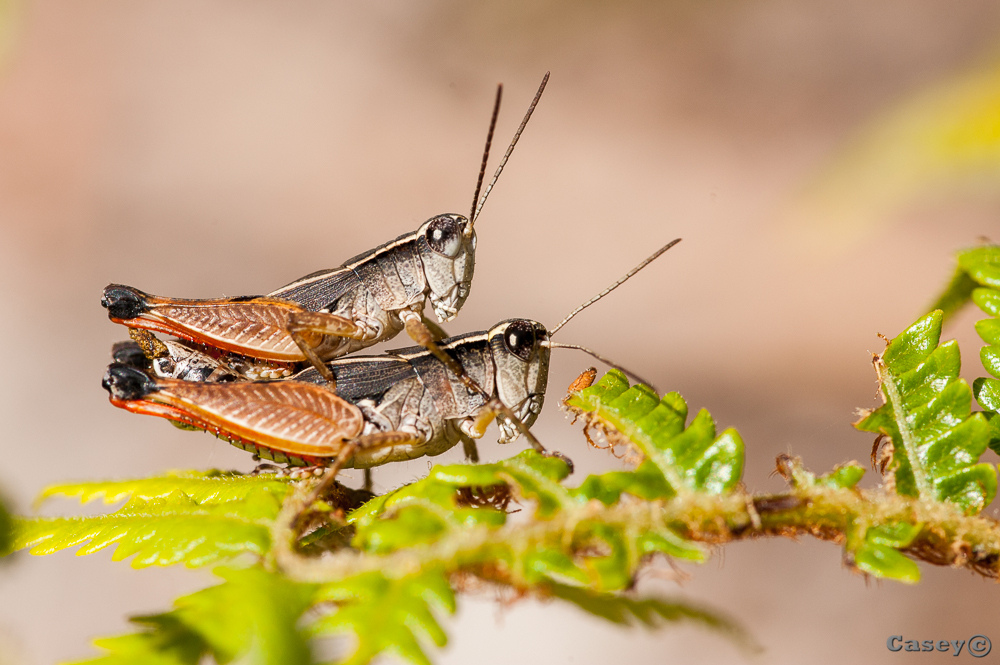 mating grass hoppers, nature
