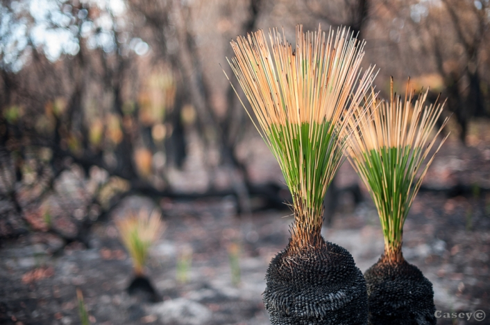 regrowth grass tree fire