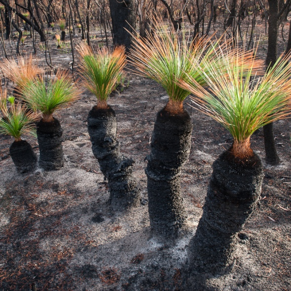 bush fire grass tree