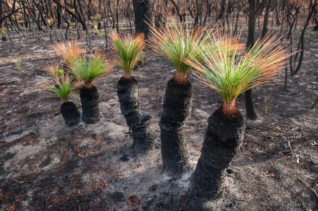 bush fire grass tree