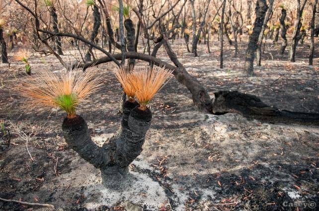 grass tree fire