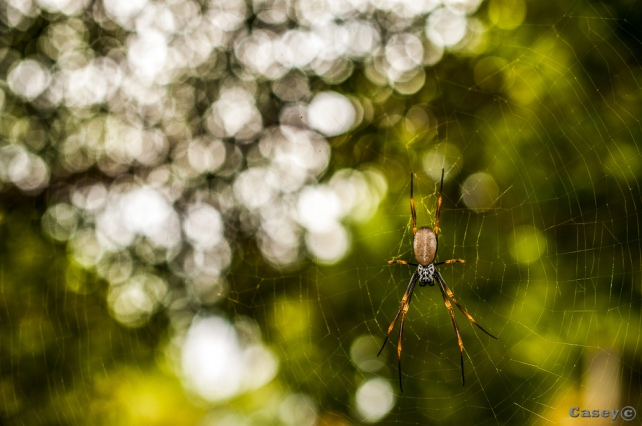 bokeh spider web orb spider
