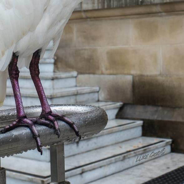 strange feet, white Ibis