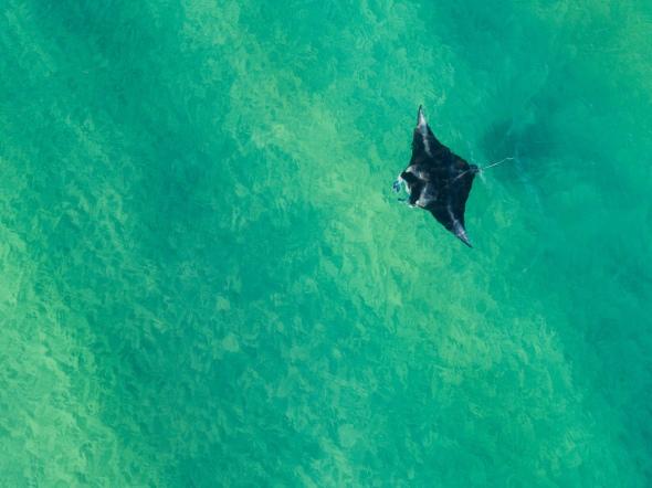 giant-manta-ray